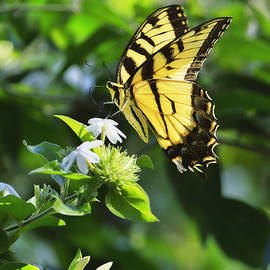 Tiger Swallowtail Butterfly by Bill Dodsworth