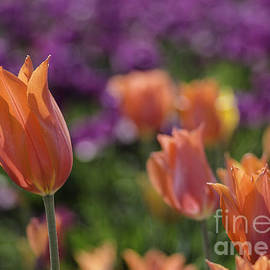 Nick Boren - Tulip Art