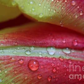 Tracy Hall - Tulip Petals