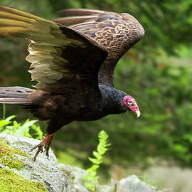 Turkey Vulture by Mircea Costina Photography