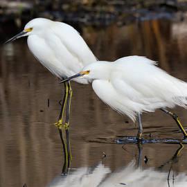 Bruce Frye - Two Snowy Egrets