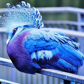Victoria Crowned Pigeon by Al Fritz