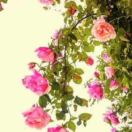 Elaine Teague - Vintage Roses