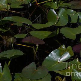 J Bloomrosen - Water Lilies 7