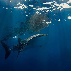 Whale Shark by U Schade