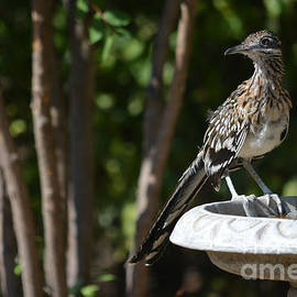 Roadrunner What Are You Looking At by Ruth  Housley