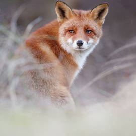 Roeselien Raimond - What Does the Fox Think?