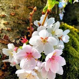 White apple blossom in spring