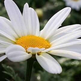 White Daisy by Bruce Bley