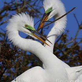White Egrets working together by Myrna Bradshaw