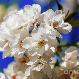 Cherry blossoms on blue sky background. by Viktor Birkus