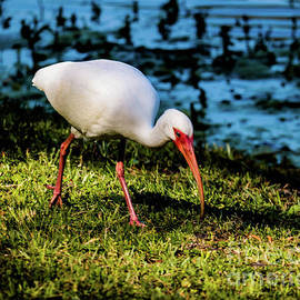 Thomas Marchessault - White Ibis