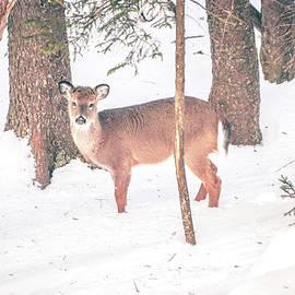 ALEX GRICHENKO - white tailed deer seeking food in snow