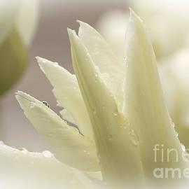 Inge Riis McDonald - White Tulip - 365-15