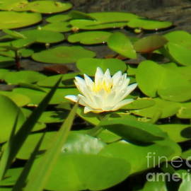 Charlene Cox - White water lily