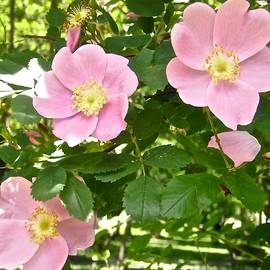 Wild Roses by Stephanie Moore
