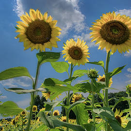 Windsor Castle Sunflowers by Jerry Gammon