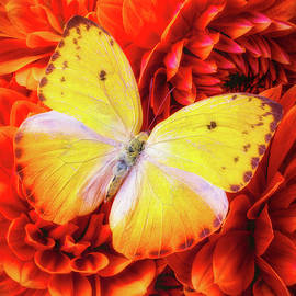 Wonderful Yellow Butterfly - Garry Gay