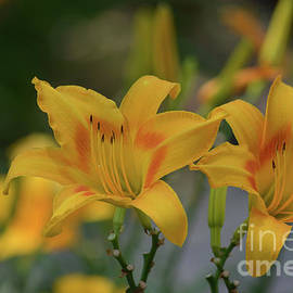 Ruth Housley - Yellow And Orange Daylilies