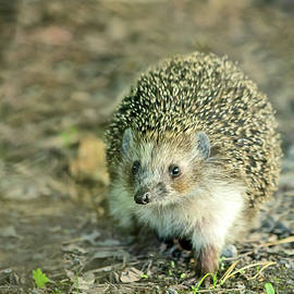Oksana Ariskina - Young Hedgehog