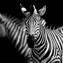 Zebra by Charuhas Images