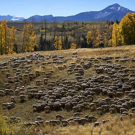 1000 Sheep Above Telluride Colorado by Mary Lee Dereske