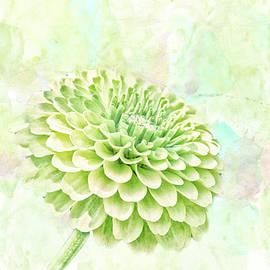 Pamela Williams - 10891 Green Chrysanthemum
