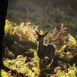 Matthew Gibson - Young hind doe red deer in Autumn Fall forest landscape image