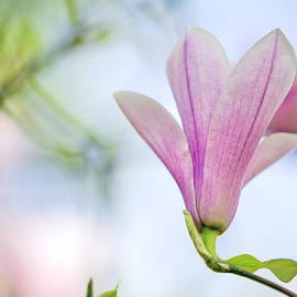 Magnolia Flowers by Nailia Schwarz