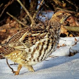 Ruffed Grouse by Ronald Lutz