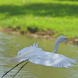 Roy Williams - Great Egret In Flight