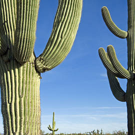 Saguaro Cacti by Arterra Picture Library