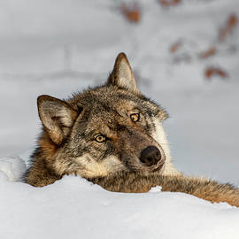 Arterra Picture Library - Solitary Wolf in Snow