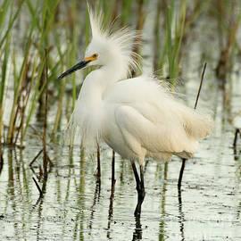 Snowy Egret by Dennis Hammer