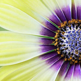 African Daisy by Linda D Lester