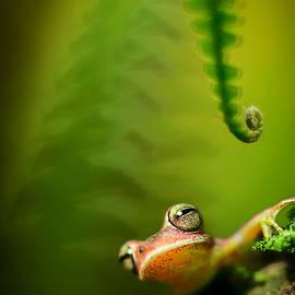 Dirk Ercken - Amazon tree frog