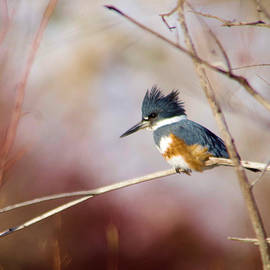 Belted Kingfisher by Jeff Swan