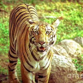 Neha Gupta - Bengal Tiger