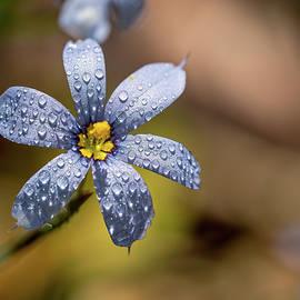 Blue Eyed Grass Flower by Brad Boland