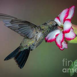 Broad-billed Hummingbird by Lisa Manifold