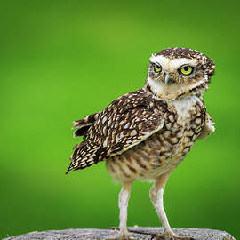 Burrowing owl  by Chris Smith