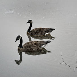 Canada Geese 1 by Frank Maxwell