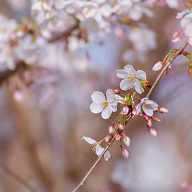Rima Biswas - Cherry Blossom