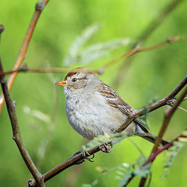 Tam Ryan - Chipping Sparrow