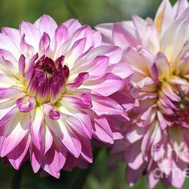 J McCombie - Dahlia named Pink Attraction