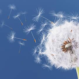Dandelion flying on blue background - Bess Hamiti