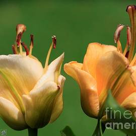 J McCombie - Double Asiatic Lily named Apricot Fudge