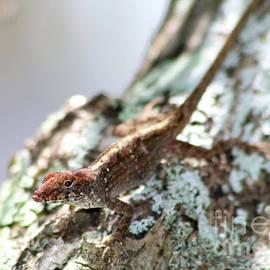 Florida Lizard by Kerry Fischel