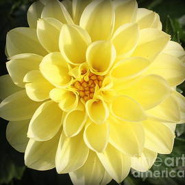 Dora Sofia Caputo Photographic Design and Fine Art - Glowing Yellow Dahlia