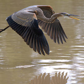 Great Blue Heron In Flight Over The River by Roy Williams